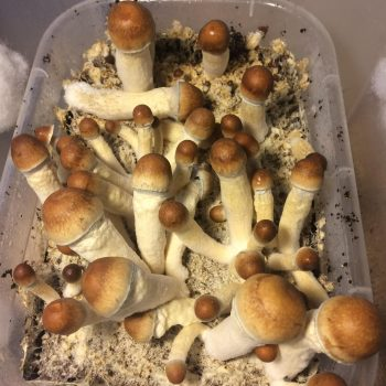 Penis Envy Mushrooms strains Available Here Fast and Secure Shipping.Penis Envy Shrooms Everybody's physiology Buy Albino Peny Envy Online