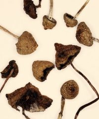 Psilocybe semilanceata spores, known as the liberty cap, is a species of fungus which produces the psychoactive compounds psilocybin and baeocystin.