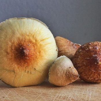 How to grow Psilocybe cubensis a species of psychedelic mushroom whose principal active compounds are psilocybin and psilocin.psilocybe cubensis spores